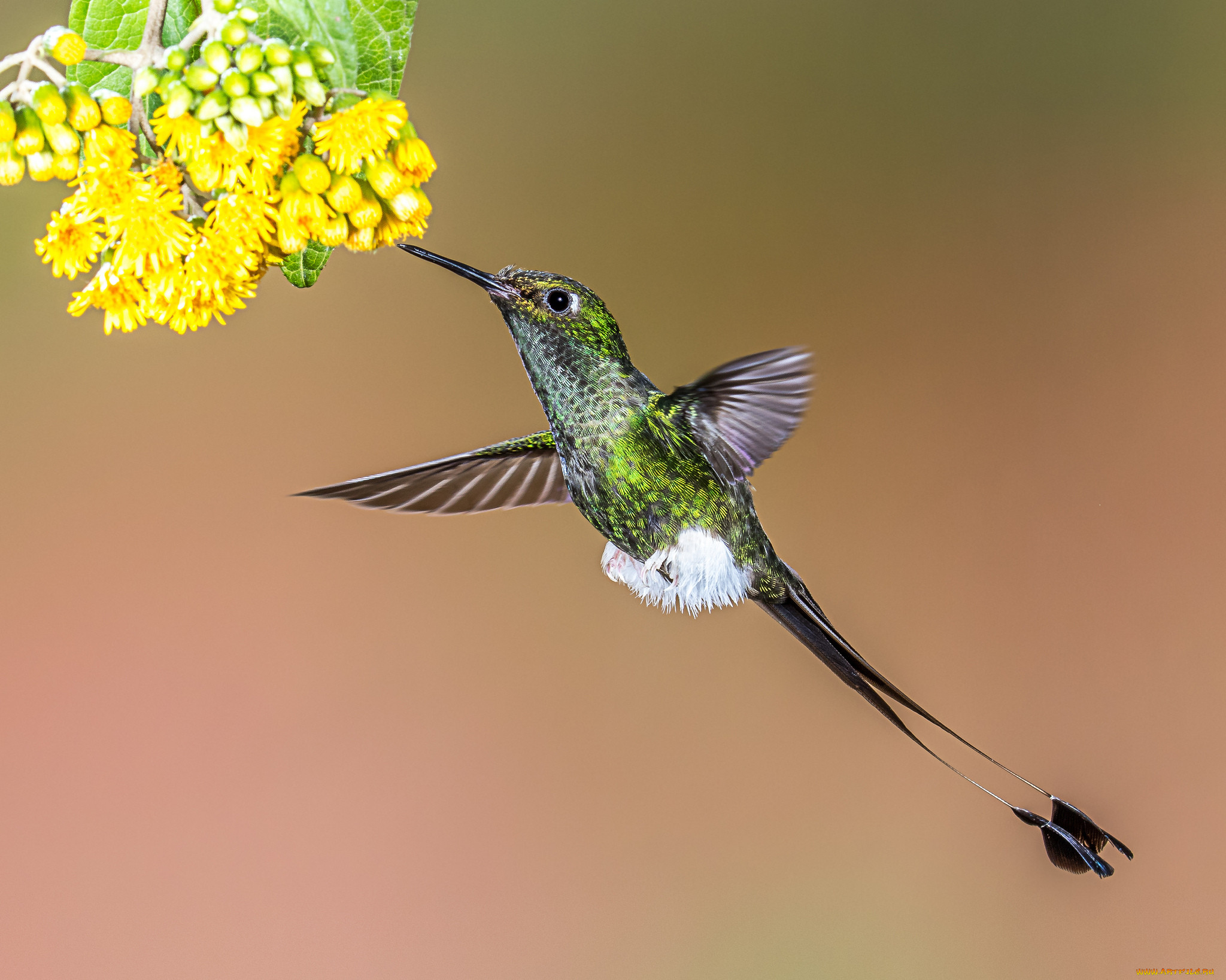 консервативное картинки с птичками колибри существо, ведущее